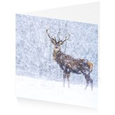 Red deer in snow